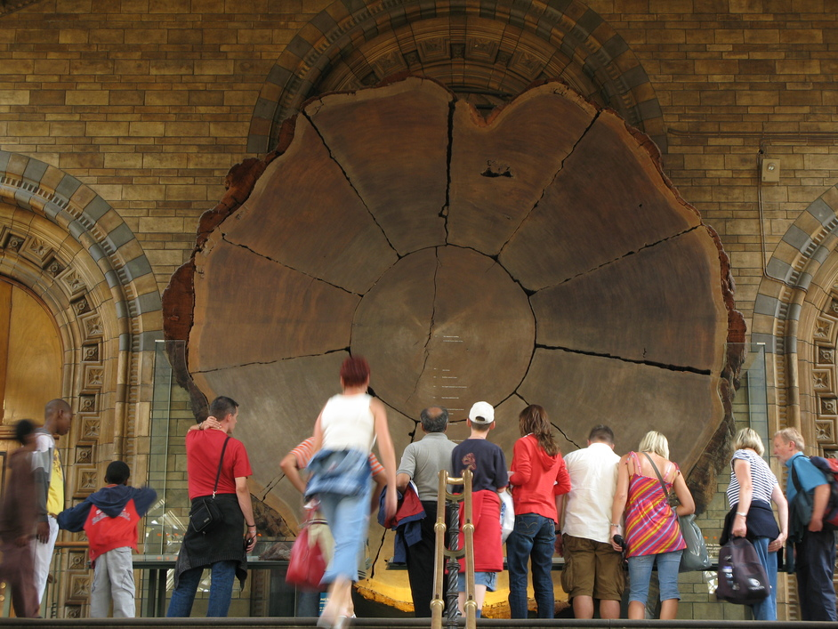 Natural History Museum - A section of the trunk of the giant sequoia tree