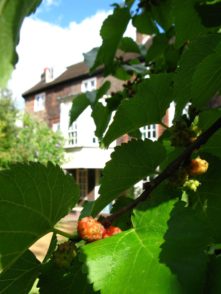 Hogarth's House - Hogarth's mulberry tree and house (background)