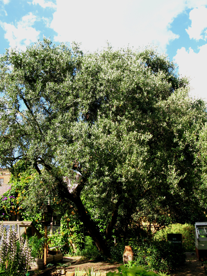 Chelsea Physic Garden - The largest fruiting olive tree in Britain