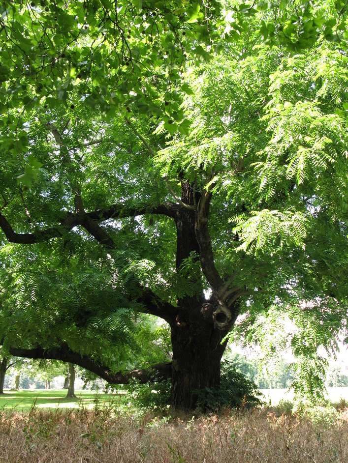 Marble Hill House - The Black Walnut Tree