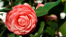 Camellia Festival, Chiswick House Conservatory by Clare Kendall