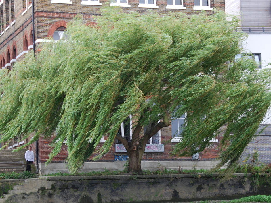 River Thames - Weeping Willow On Thames