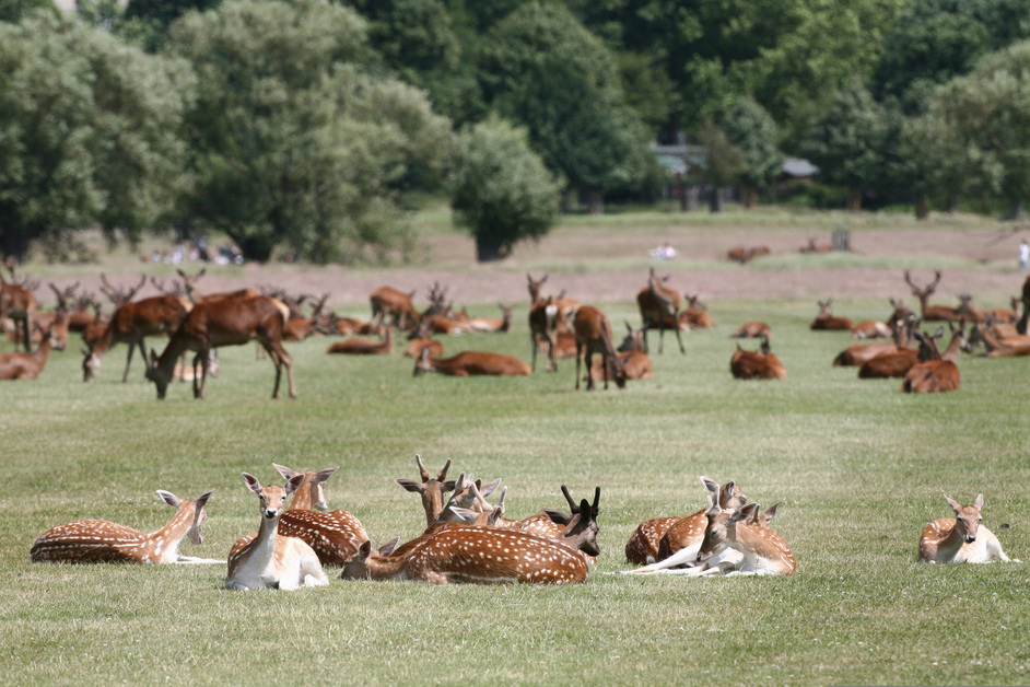 Richmond Park - Deer in Summer - � Giles Barnard