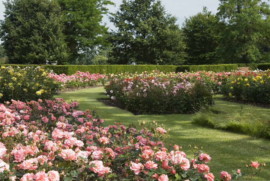 Greenwich Park - The Rose Garden - © Anne Marie Briscombe