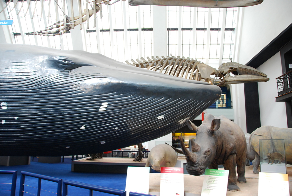Natural History Museum - Whale At Natural History Museum