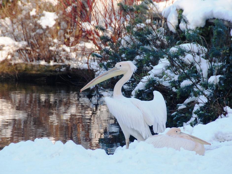 St James's Park - Pelicans In St James's Park.
