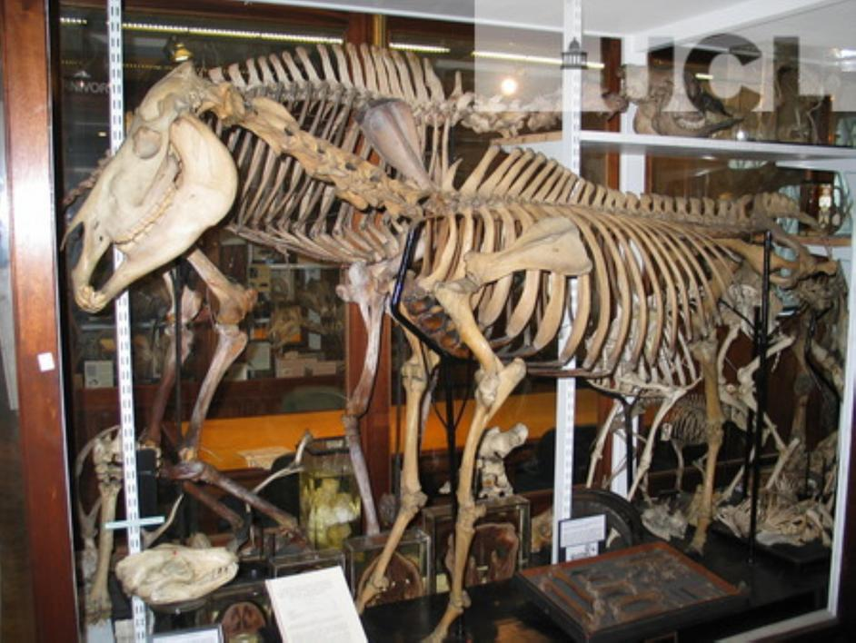 Grant Museum of Zoology - Quagga - photo by Sarah Parker