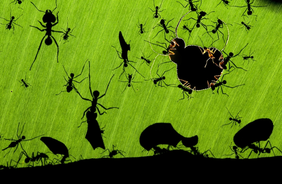 Veolia Environnement Wildlife Photographer of the Year - � Bence M�t� / Veolia Environnement Wildlife Photographer of the Year 2010 -  Overall Winner: A marvel of ants