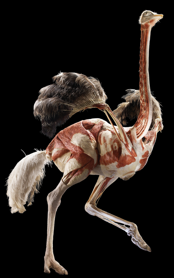 Animal Inside Out - Ostrich © Gunther von Hagens, Institute for Plastination, Heidelberg, Germany