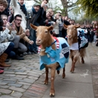 Oxford vs Cambridge Goat Race