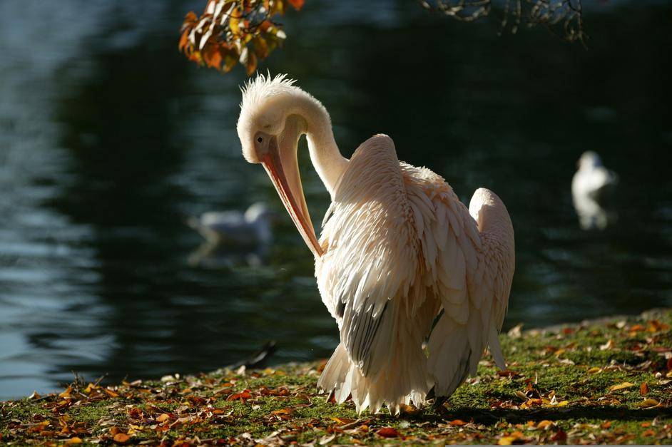 St James's Park - Pelican in Summer - © Anne Marie Briscombe