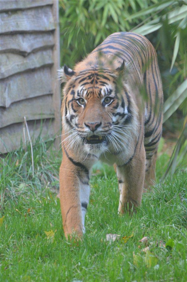 Tiger Territory - Tiger Territory, 2013