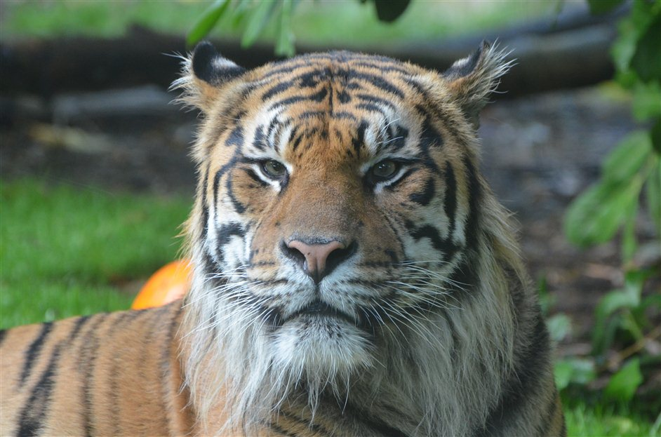 ZSL London Zoo - Tiger Territory, 2013. Jae Jae Male Sumatran Tiger, copyright ZSL