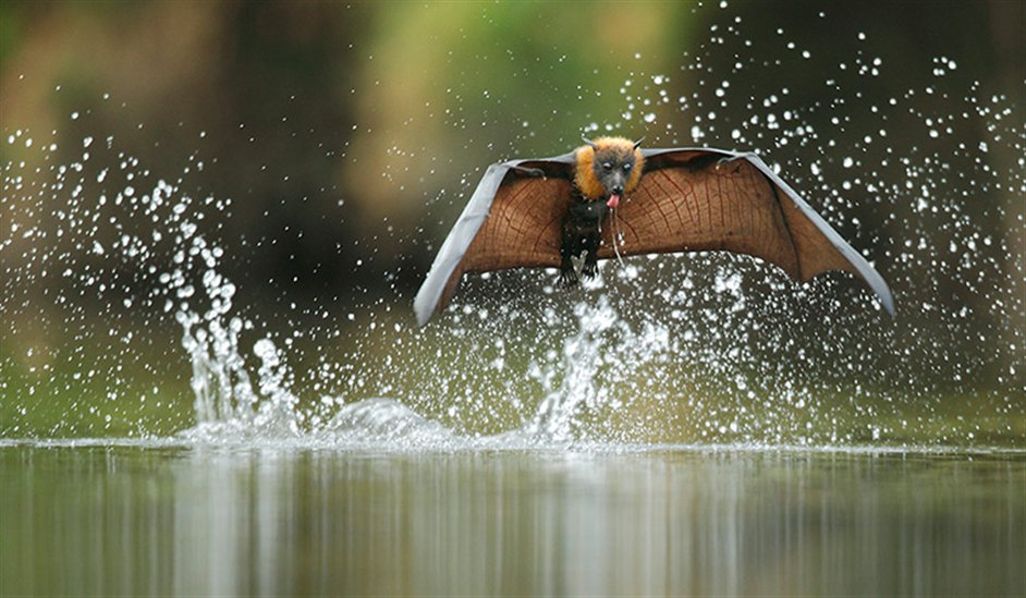 Veolia Environnement Wildlife Photographer of the Year - Grey-headed flying fox by Ofer Levy
