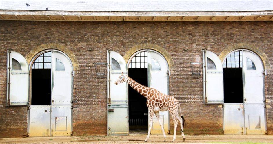 ZSL London Zoo - The Grade II listed Giraffe House, built 1836-7