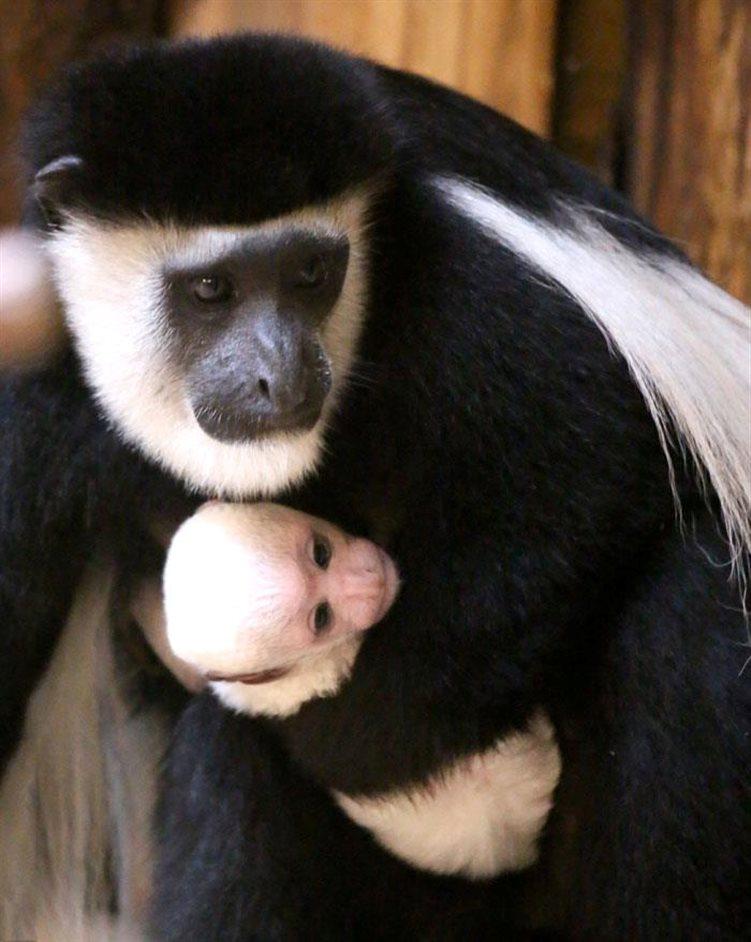 ZSL London Zoo - Black and white colobus monkey, Oct 2012