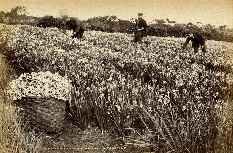 Floriculture: Flowers, Love and Money - Daffodil picking Scilly Isles c1900
