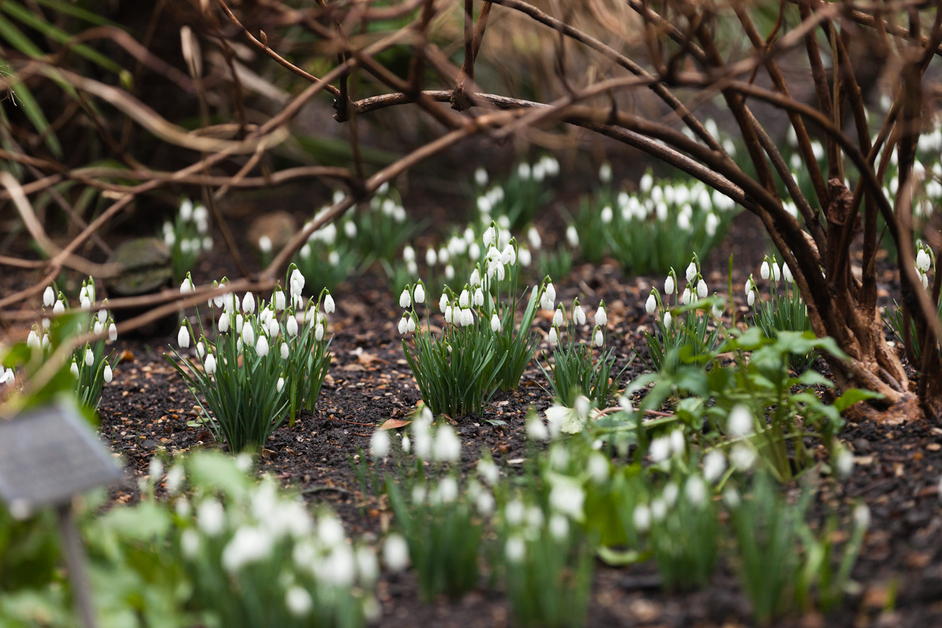 Snowdrop Days 2015 - Photo copyright Megan Taylor