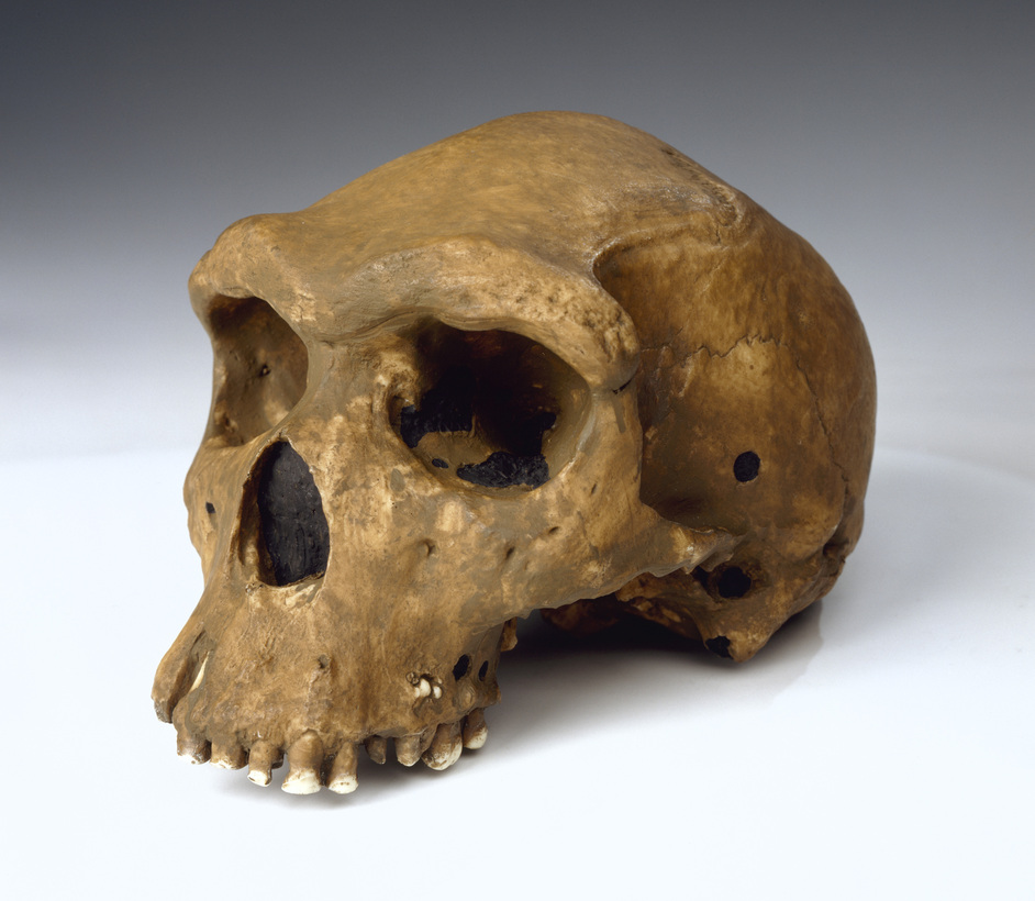 Human Evolution Gallery  - Homo heidelbergensis Broken Hill Man. Photo copyright Natural History Museum
