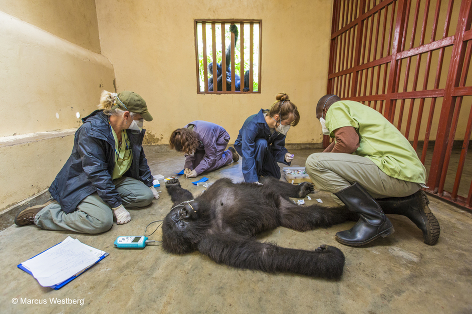 Wildlife Photographer of the Year 2015 - Marcus Westberg, Gorilla care