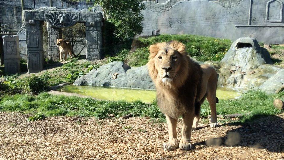 Chessington World of Adventures - Kamal the Asiatic lion
