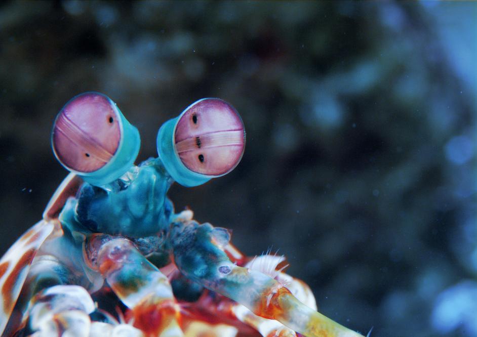 Colour And Vision - Mantis shrimp (c) Atlantic Productions