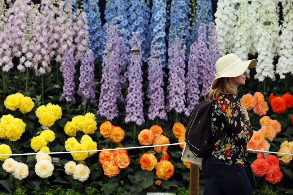 RHS Chelsea Flower Show - A visitor passes blooms on the Blackmore and Langdon Ltd exhibit, RHS Chelsea Flower Show, 2017 © RHS / Luke MacGregor