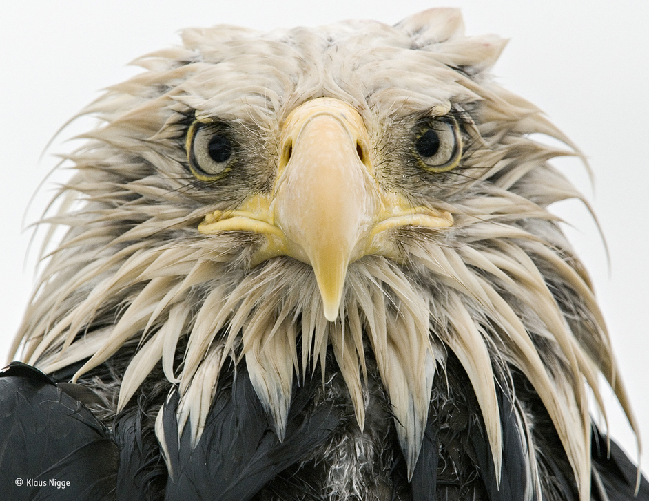 Wildlife Photographer of the Year 2017 - Bold eagle © Klaus Nigge Finalist, Animal Portraits