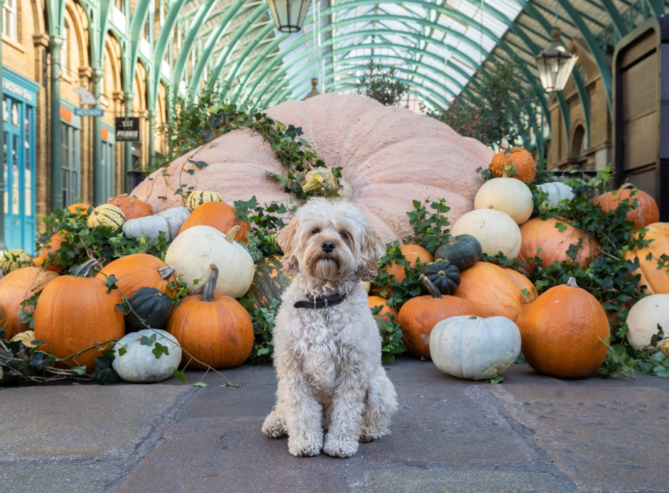 Halloween at Covent Garden - Halloween at Covent Garden, Wilson the Cavapoo