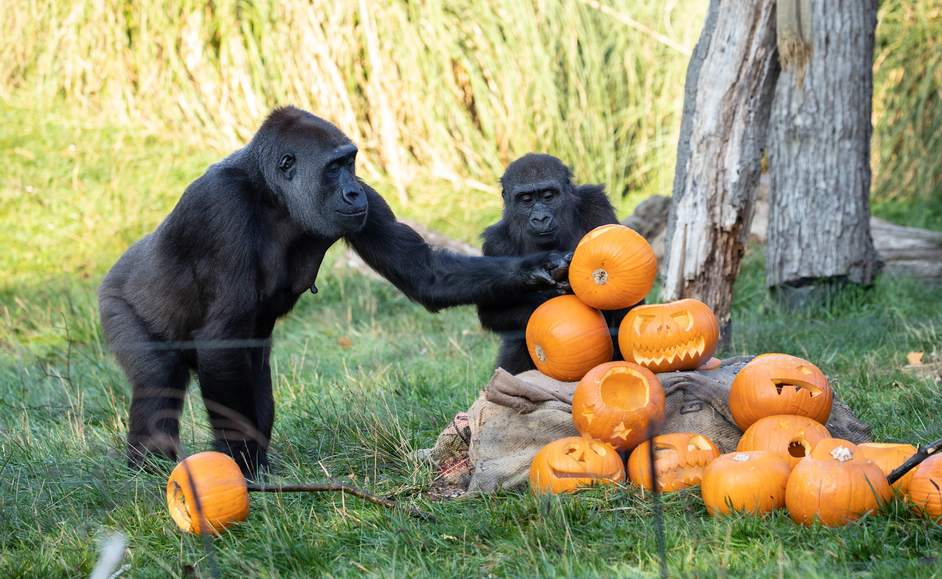 Halloween at London Zoo - Western lowland gorillas at ZSL London Zoo enjoy Halloween treats, photo: ZSL