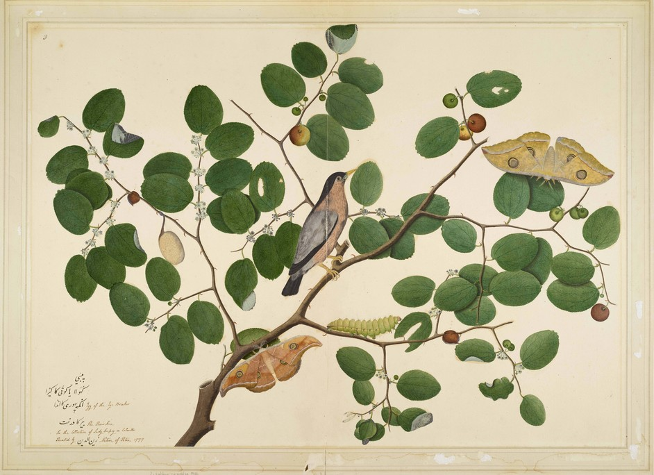 Forgotten Masters: Indian Painting For The East India Company - Shaikh Zain ud-Din, Brahminy Starling © Minneapolis Institute of Art
